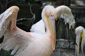 Pelican con sus alas — Foto de Stock