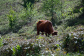 Cow in tea bushes — Stock Photo