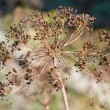Inflorescence dill — Stock Photo