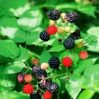 Stock Photo: Bramble berries on bush