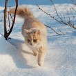 Stock Photo: Red cat gently walking through snow