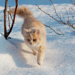 Red cat gently walking through the snow — Stock Photo