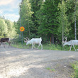 Three northern deer are on a forest road — Stock Photo