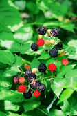Bramble berries on a bush — Stock Photo