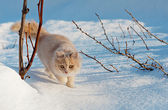 Cat gently walking through the snow — Stock Photo