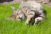 Cat on lawn — Stock Photo