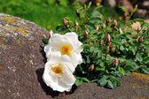 Wild rose on stone — Stock Photo