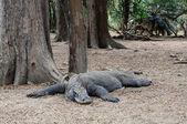 Lying Komodo dragon — Stock Photo