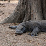 Resting Komodo dragon — Stock Photo #46272677