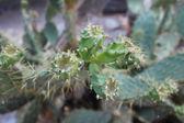 Cactaceae — Stock Photo