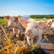 Two piglets — Stock Photo #14212419