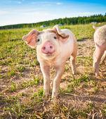 Baby pig — Stock Photo
