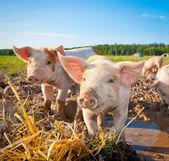 2 つの豚 — ストック写真