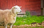 Sheep on farm — Stock Photo