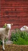Baby sheep — Stock Photo