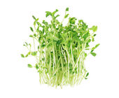 Pea Sprouts — Stock Photo