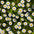 Daisies in park — Stock Photo #12033098