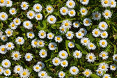 Daisies in park — Stock Photo