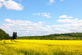 Beatiful rape field — Stock Photo