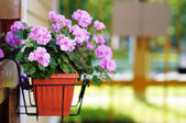 Flowerpot with lilac flowers — Stock Photo