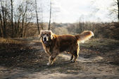 Dog walking in park — Stock fotografie