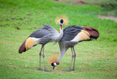 Two crowned crane — Stock Photo