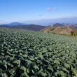Cabbage field — Stock Photo #12443824