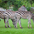 Zebras was eating — Stockfoto #12484662