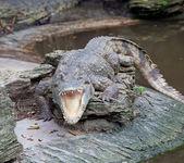 Crocodile open mouth — Stock Photo