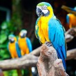 Macaw sleeping — Stock Photo