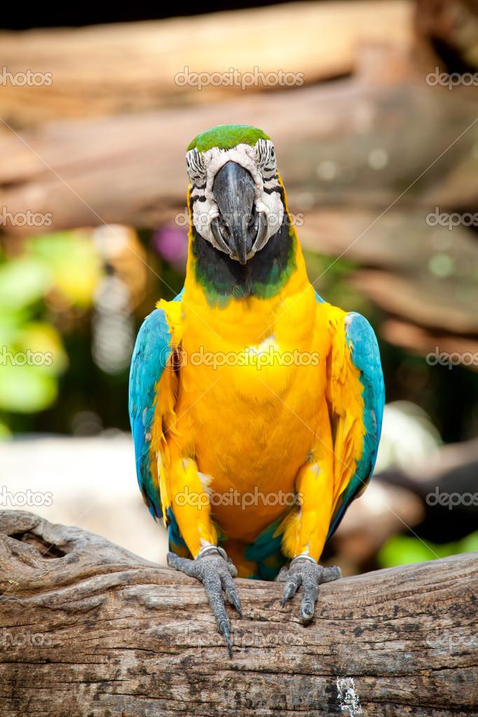 多彩金刚鹦鹉