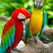 Couple macaw — Stockfoto