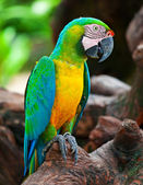 Macaw sitting — Stock Photo