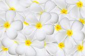 Plumeria flower — Zdjęcie stockowe