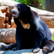 Stock Photo: Black Bear