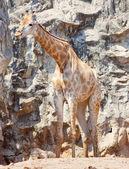 Żyrafa w kamieniu — Zdjęcie stockowe