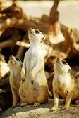 Three Meerkat — Stock Photo