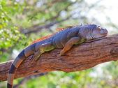 Iguana reptile sleeping — Stock Photo