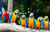 Colorful macaws — Stock Photo