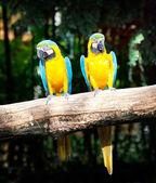 Colorful couple macaw — Stockfoto
