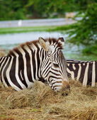 Two zebras — Foto Stock