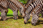 Zebra herd — Foto Stock