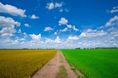 Green and Yellow rice field — Stock Photo