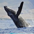 A Breaching Humpback Whale — Stock Photo #26632733