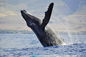 A Breaching Humpback Whale — Stock Photo