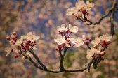 Vintage wiśniowe kwiaty — Zdjęcie stockowe