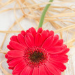 Gerbera on the white wooden background — Zdjęcie stockowe
