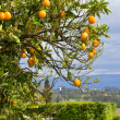 Orange tree with oranges — Stock fotografie