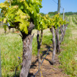 Vineyard in spring — Stock Photo #25412751