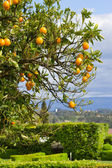 Orange tree with oranges — Stock Photo